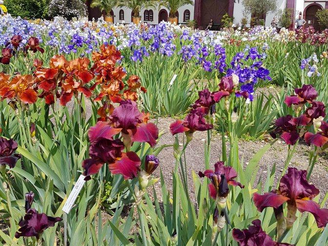 Irisblüte in den Meriangärten