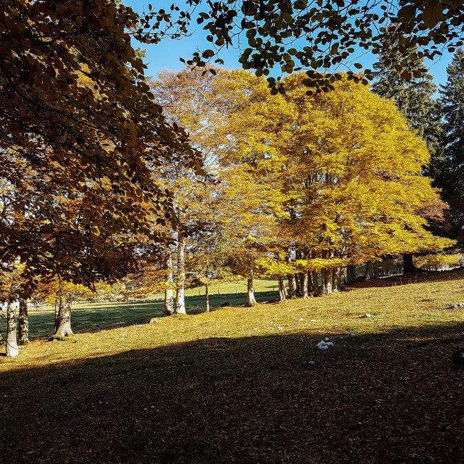 Herbstliche Gugelhöpfchen in den Wäldern des Creux du Van