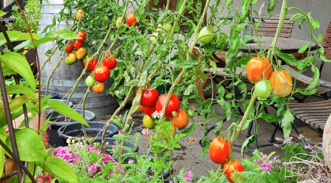 Tomatenflüstern mit Xenia